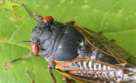17 year Cicadas coming by the Billions